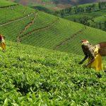 rwanda kivu black tea 1