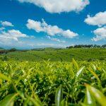 rwanda kivu black tea 2