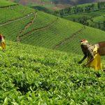 rwanda kivu green tea 2
