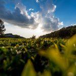 rwanda kivu green tea 3